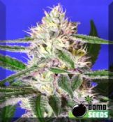Cheese bomb female cannabis seeds online Feminized Strain